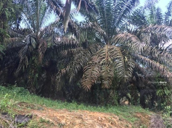 Senai 50 Acres Agriculture Land for Sale  125204051