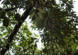 Durian Orchard in Raub Pahang - Property For Sale in Singapore
