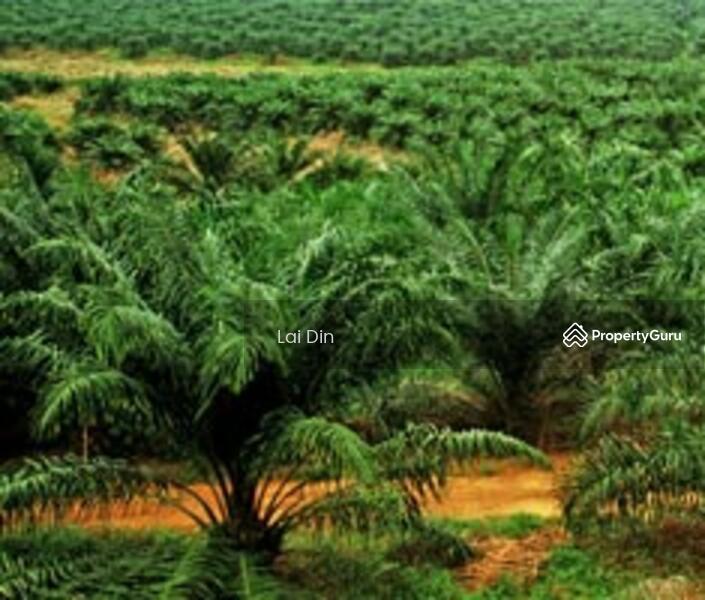 Oil Palm Estate At Kahang Johore Kahang Johor